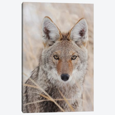 Coyote in autumn Canvas Print #CHE67} by Ken Archer Canvas Artwork