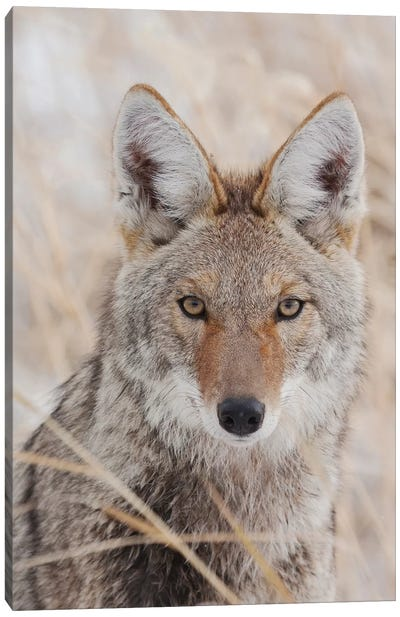 Coyote in autumn Canvas Art Print