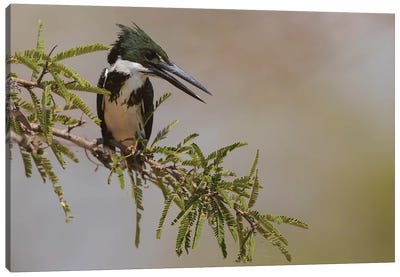 Female Amazon kingfisher Canvas Art Print