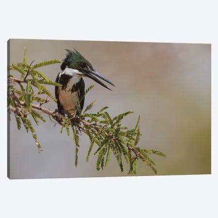 Female Amazon kingfisher Canvas Print #CHE69} by Ken Archer Canvas Print