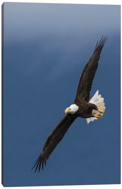Bald Eagle Flight I Canvas Art Print