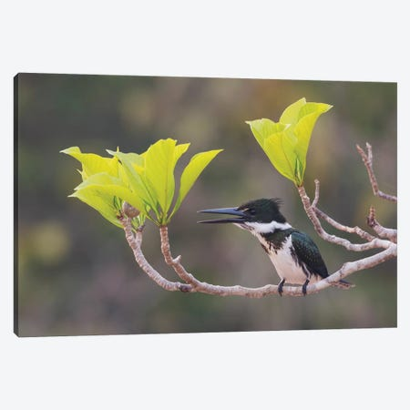 Female Amazon kingfisher Canvas Print #CHE70} by Ken Archer Canvas Wall Art