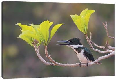 Female Amazon kingfisher Canvas Art Print