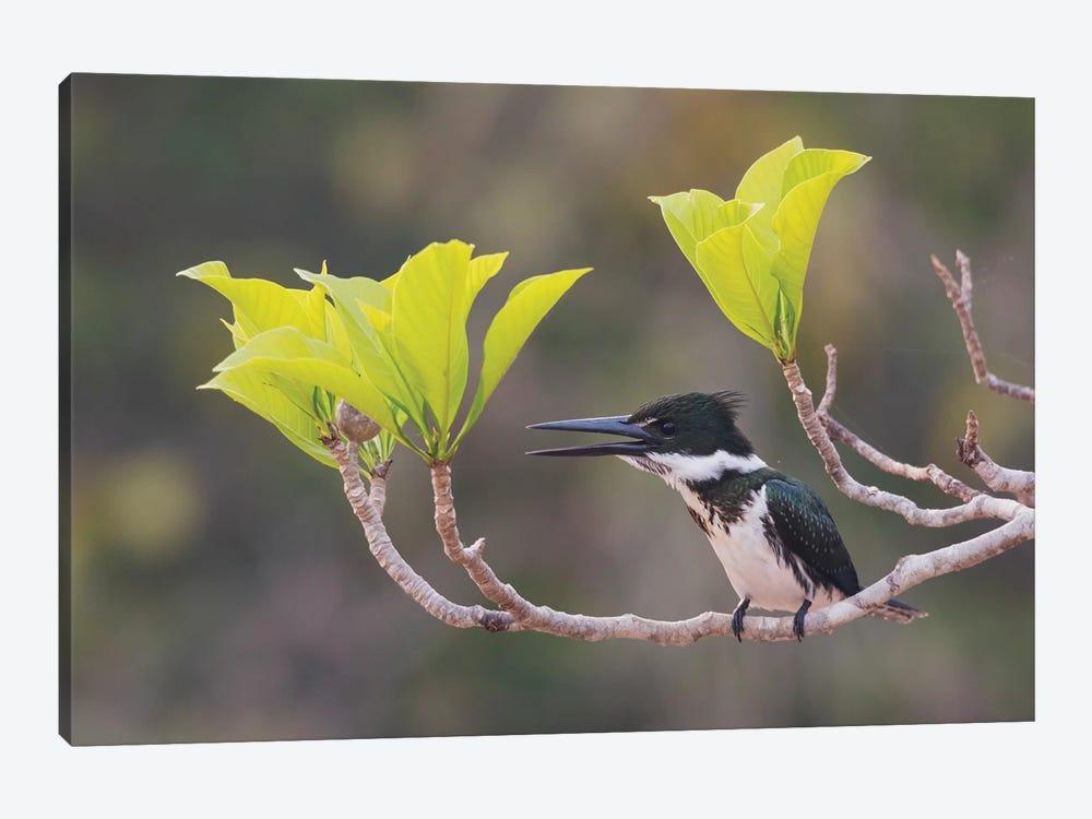 Female Amazon kingfisher by Ken Archer 1-piece Art Print