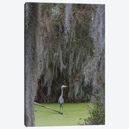 Great Blue Heron, Spanish Moss Canvas Print #CHE76} by Ken Archer Canvas Print