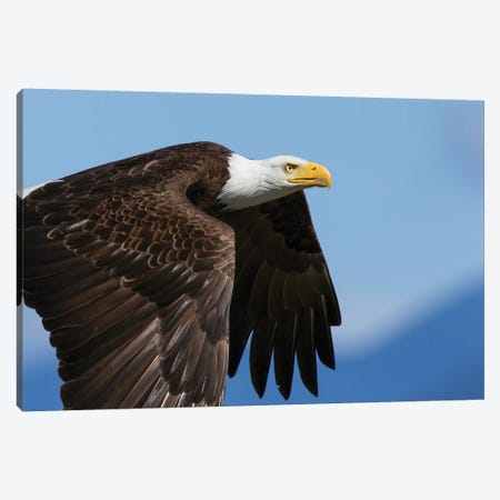 Bald Eagle Flight II 3-Piece Canvas #CHE7} by Ken Archer Canvas Art Print