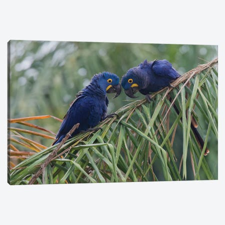 Hyacinth Macaw pair Canvas Print #CHE81} by Ken Archer Canvas Art Print