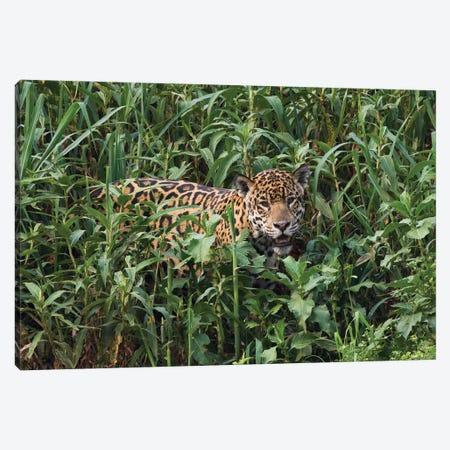 Jaguar emerging from tall vegetation Canvas Print #CHE83} by Ken Archer Canvas Print