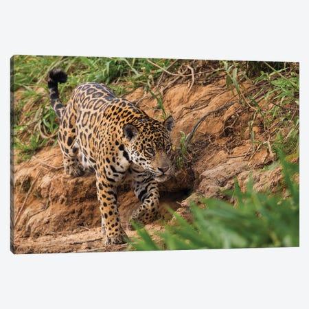 Jaguar stalking Canvas Print #CHE84} by Ken Archer Canvas Artwork