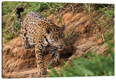 Jaguar stalking Canvas Art Print