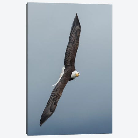 Bald Eagle flying III 3-Piece Canvas #CHE8} by Ken Archer Canvas Art