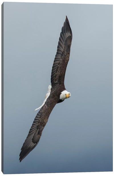 Bald Eagle flying III Canvas Art Print