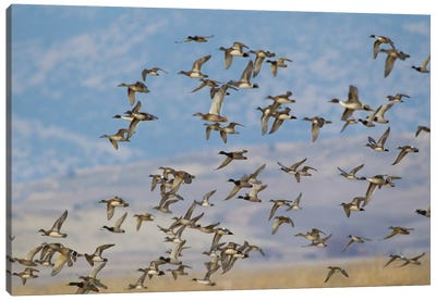 Mixed flock of waterfowl flying Canvas Art Print