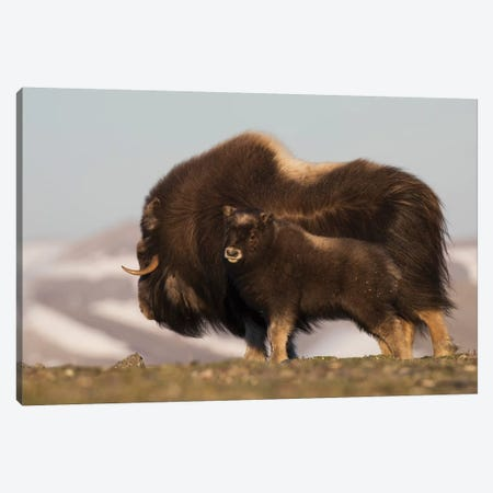 Musk Ox with calf Canvas Print #CHE95} by Ken Archer Canvas Art Print