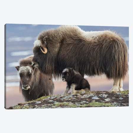 Muskox mother with young calf Canvas Print #CHE99} by Ken Archer Canvas Artwork