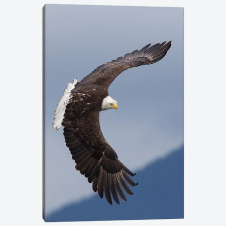 Bald Eagle flying IV Canvas Print #CHE9} by Ken Archer Canvas Wall Art