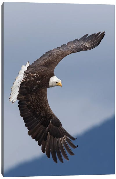 Bald Eagle flying IV Canvas Art Print