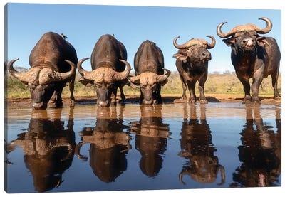 Buffaloes By The Waterhole... Canvas Art Print