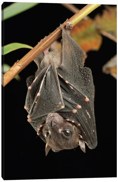 Spotted-Winged Fruit Bat Roosting, Bukit Sarang Conservation Area, Bintulu, Borneo, Malaysia Canvas Art Print