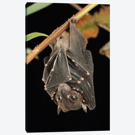 Spotted-Winged Fruit Bat Roosting, Bukit Sarang Conservation Area, Bintulu, Borneo, Malaysia Canvas Print #CHL10} by Ch'ien Lee Art Print