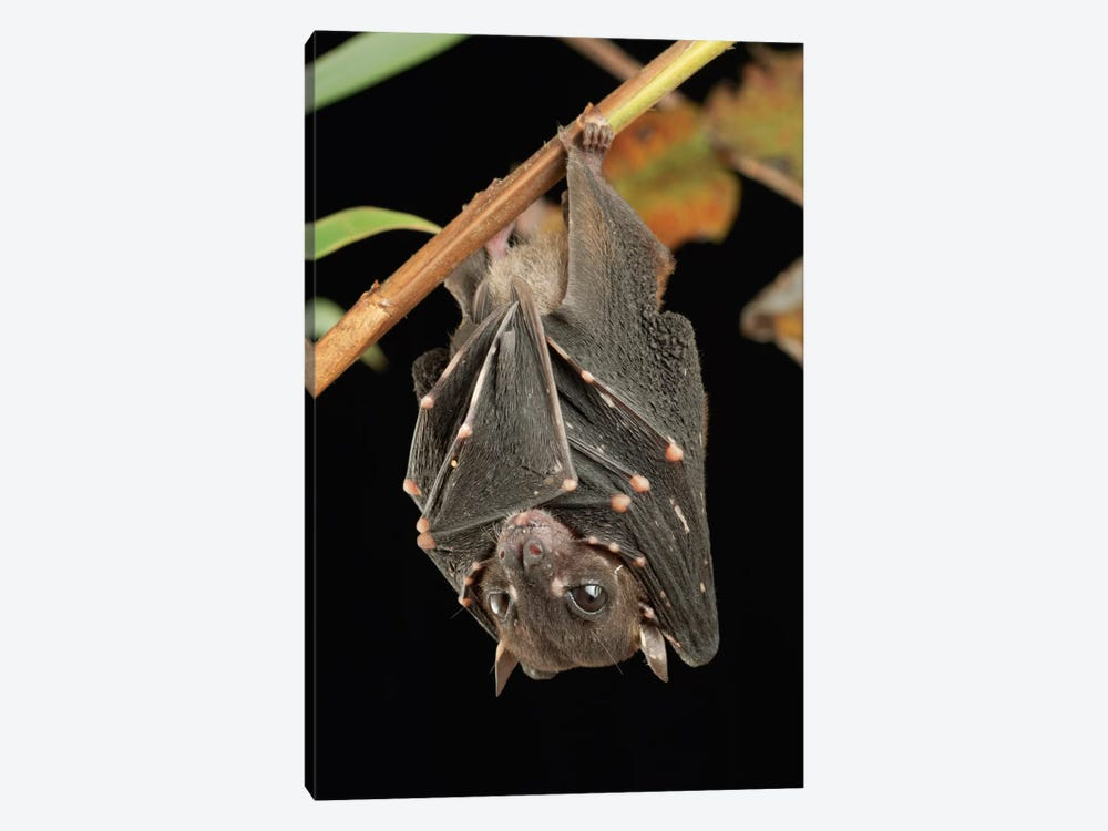 Spotted-Winged Fruit Bat Roosting, Bukit Sarang Conservation Area, Bintulu, Borneo, Malaysia by Ch'ien Lee 1-piece Canvas Print