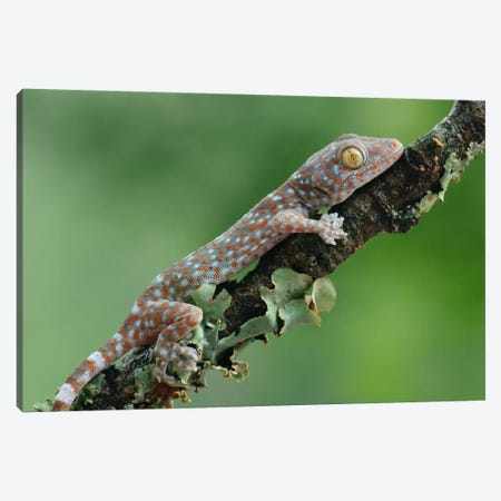 Tokay Gecko Juvenile, Uthai Thani, Thailand Canvas Print #CHL11} by Ch'ien Lee Canvas Print
