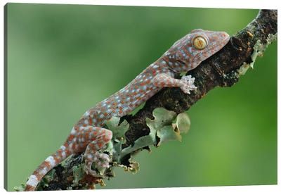 Tokay Gecko Juvenile, Uthai Thani, Thailand Canvas Art Print