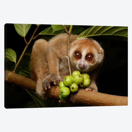 Bornean Slow Loris At Night, Kuching, Borneo, Malaysia Canvas Print #CHL1} by Ch'ien Lee Art Print
