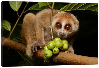 Bornean Slow Loris At Night, Kuching, Borneo, Malaysia Canvas Art Print
