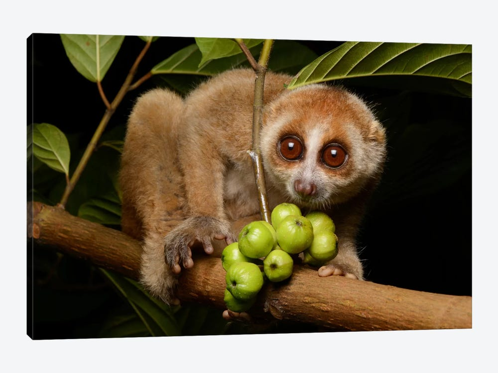 Bornean Slow Loris At Night, Kuching, Borneo, Malaysia by Ch'ien Lee 1-piece Canvas Print