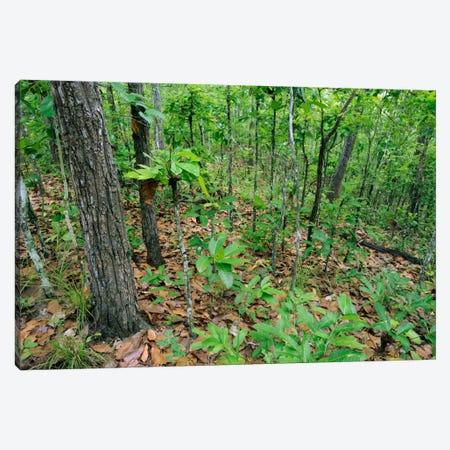 Deciduous Forest During The Beginning Of The Rainy Season, Thungyai-Huai Kha Khaeng Wildlife Sanctuary, Uthai Thani, Thailand Canvas Print #CHL2} by Ch'ien Lee Art Print