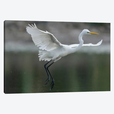 Great Egret Landing, Sarawak, Borneo, Malaysia Canvas Print #CHL3} by Ch'ien Lee Canvas Art Print