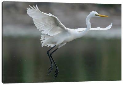 Great Egret Landing, Sarawak, Borneo, Malaysia Canvas Art Print