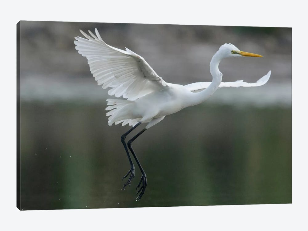 Great Egret Landing, Sarawak, Borneo, Malaysia by Ch'ien Lee 1-piece Canvas Print