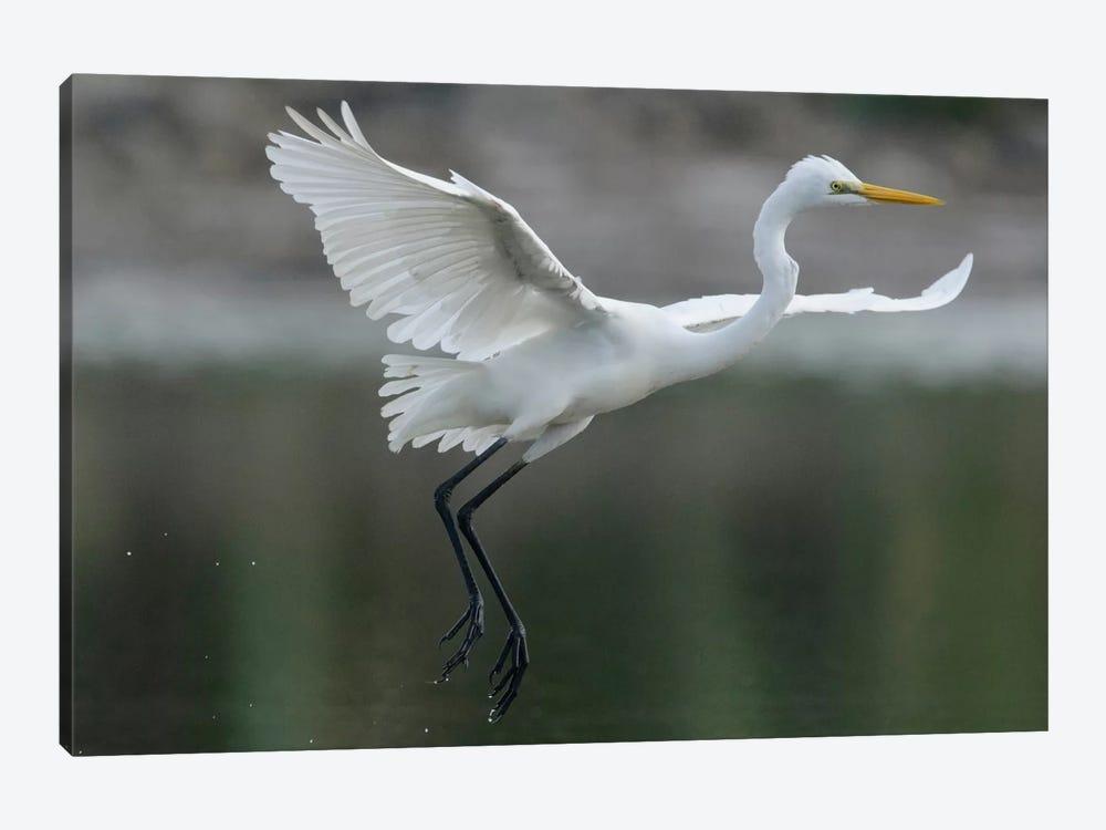 Great Egret Landing, Sarawak, Borneo, Malaysia by Ch'ien Lee 1-piece Canvas Print
