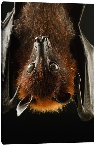 Large Flying Fox Roosting, Kuching, Borneo, Malaysia Canvas Art Print