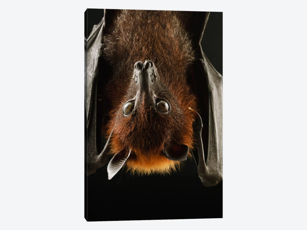 Large Flying Fox Roosting, Kuching, Borneo, Malaysia by Ch'ien Lee 1-piece Canvas Wall Art