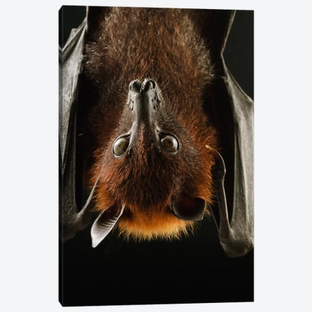 Large Flying Fox Roosting, Kuching, Borneo, Malaysia Canvas Print #CHL4} by Ch'ien Lee Canvas Artwork