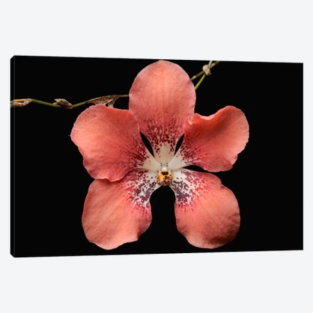Orchid Flower, Sabah, Borneo, Malaysia Canvas Print #CHL5} by Ch'ien Lee Canvas Wall Art