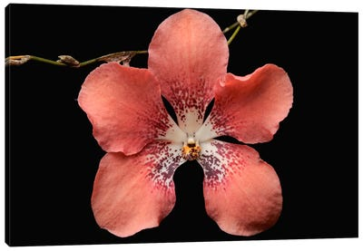 Orchid Flower, Sabah, Borneo, Malaysia Canvas Art Print