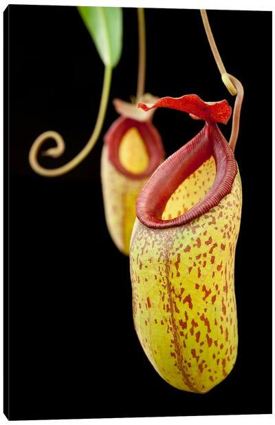 Pitcher Plant And Pitcher Plant Hybrids, Lindulla, Sri Lanka Canvas Art Print