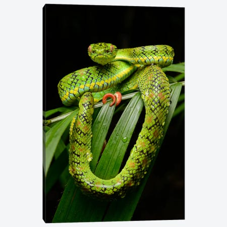 Schultz' Pit Viper Showing Red Tail Tip Used For Caudal Luring, Thumb Peak, Palawan Island, Philippines Canvas Print #CHL9} by Ch'ien Lee Canvas Print