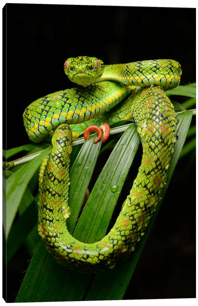 Schultz' Pit Viper Showing Red Tail Tip Used For Caudal Luring, Thumb Peak, Palawan Island, Philippines Canvas Art Print