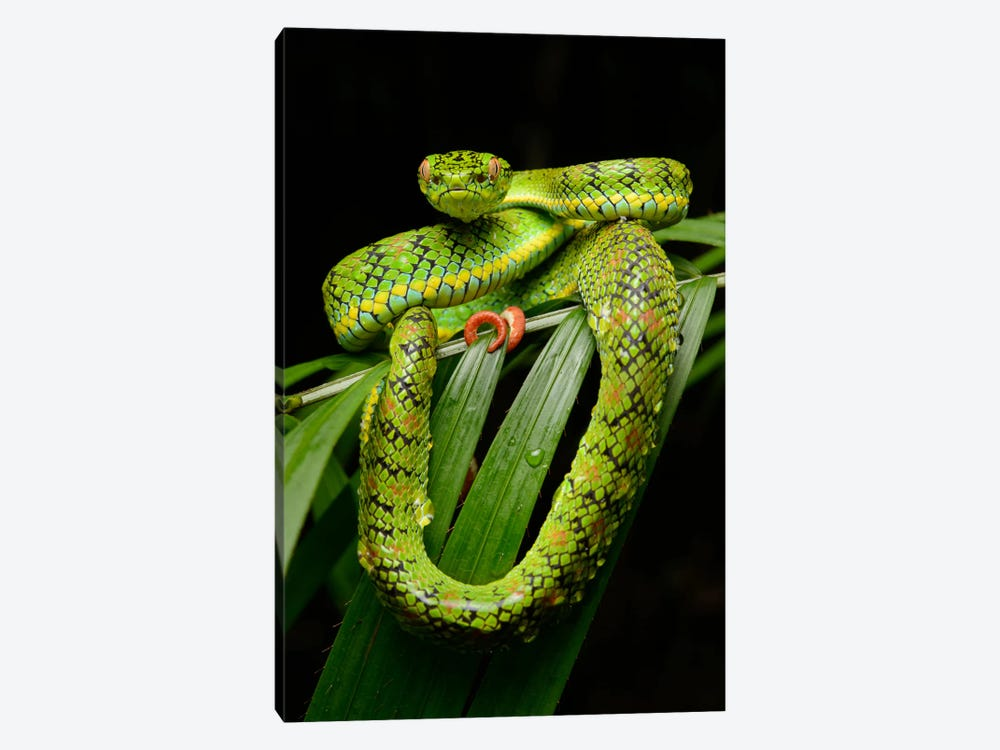 Schultz' Pit Viper Showing Red Tail Tip Used For Caudal Luring, Thumb Peak, Palawan Island, Philippines by Ch'ien Lee 1-piece Canvas Print