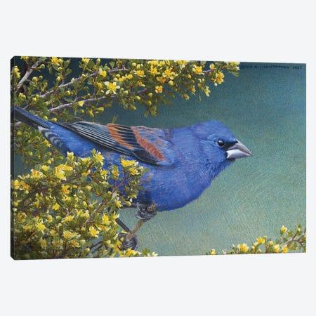 Blue Grosbeak Canvas Print #CHV21} by Christopher Vest Canvas Artwork
