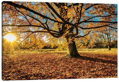 Fall Chestnut - Anglesey Abbey Canvas Art Print
