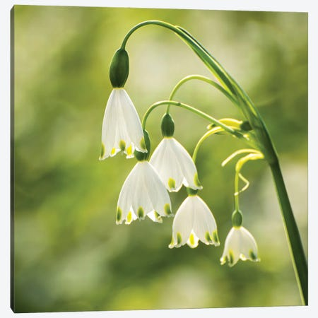 Bringing Hope - Giant Snowdrops Canvas Print #CKP45} by Colin Kemp Photography Canvas Print