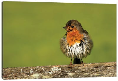 Robin'S Morning After... Canvas Art Print