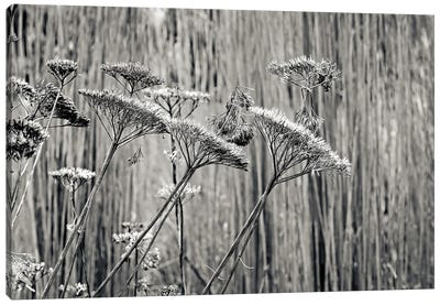 Seed Heads At Wisley Canvas Art Print