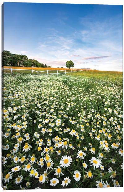 Daisyfield In Sweden Canvas Art Print